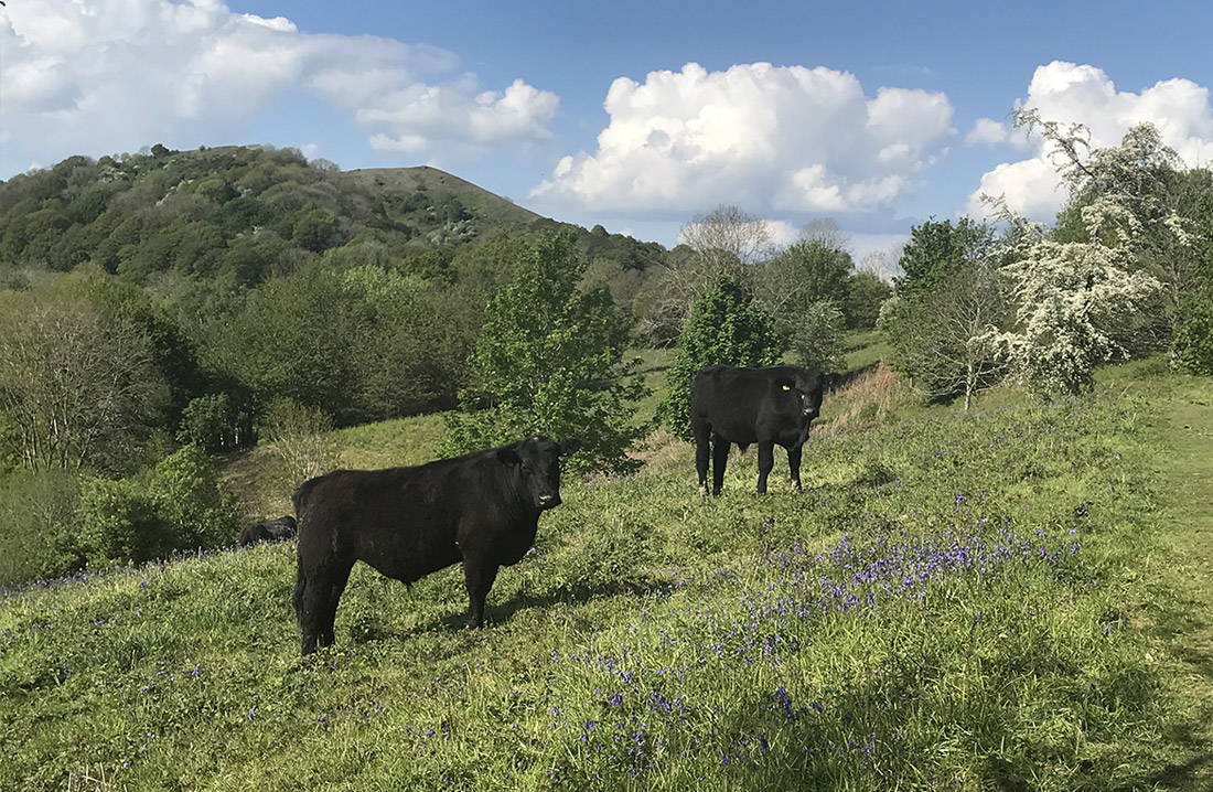 Aberdeen Angus grazing on Chace End Hill